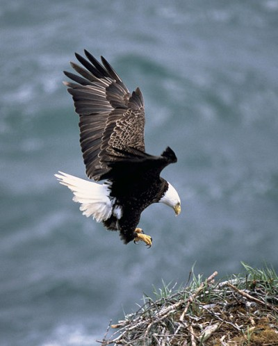 481px-Haliaeetus_leucocephalus2-e1353501549774 We Must Fight for America – Not Secede from America
