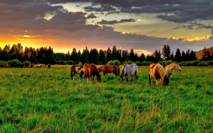 beautif-horses-in-a-sunset-meadow-232499