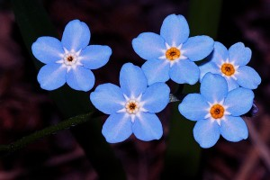 forget-me-not-562002_960_720