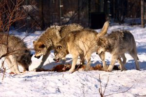 Timber_wolves_fighting-300x200 How the West Became A Shepherdess of Wolves