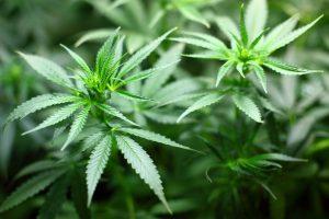 Lizzie Post's Shocking Attempt to Mainstream and Gentrify Marijuana